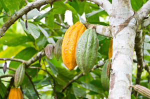 cocoa fruit in the tree